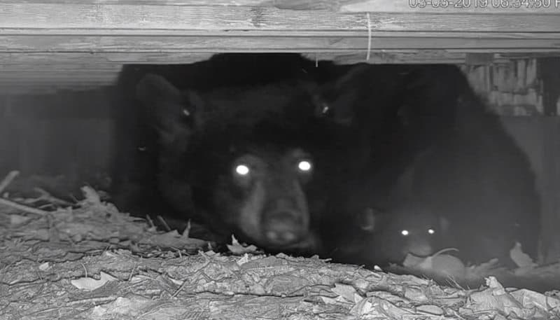Inside a black bear den